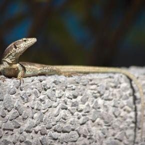 Madeira lizard