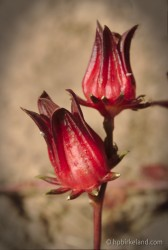 Sorrell flowers
