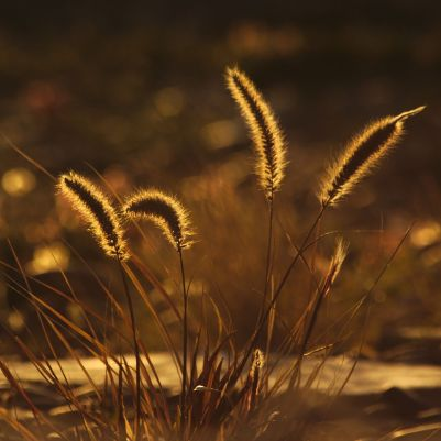 Backlit Grass 1