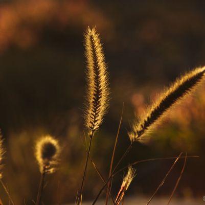 Backlit Grass 2