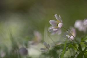 Blushing Anemone
